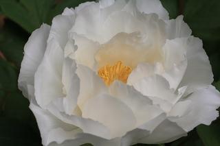 白い牡丹.JPG