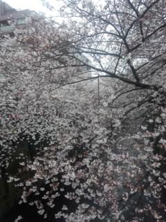 Sakura 目黒川.jpg