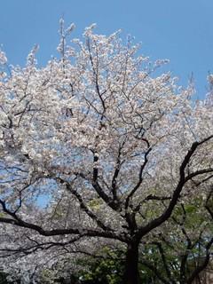 C Sakura 代官山公園.jpg