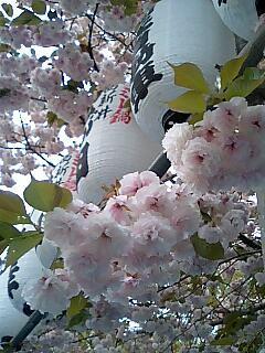 Sakura 提灯と八重桜.jpg