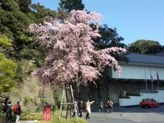 Sakura 目黒の桜1 2015.jpg
