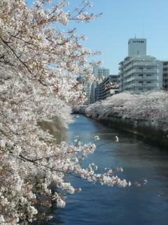 Sakura 目黒川の桜4 2015.jpg