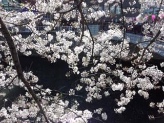 Sakura 目黒川の桜5 2015.jpg