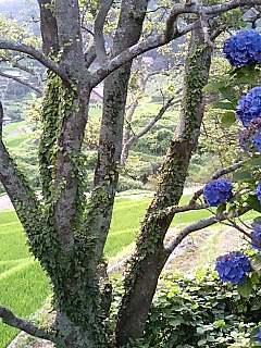 7月の紫陽花.jpg
