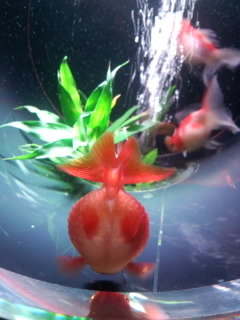 アート・アクアリウム 金魚2.jpg