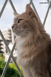 猫 メインクーン.jpg