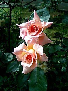 St,Lukes Rose.jpg
